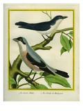 Lesser Grey Shrike and Masked Shrike