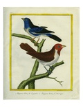 Blue-Grey Tanager and Brown Tanager