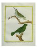 And Hodgson's Treecreeper