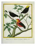Golden-Headed Manakin  White-Crowned Manakin and Crimson-Hooded Manakin
