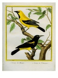 Black-Hooded Oriole and Hispaniolan Oriole Formerly  Greater Antillean Oriole