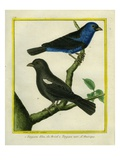 Blue-Grey Tanager and Black Tanager