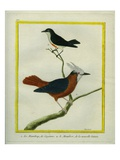 White-Plumed Antbird And