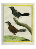 Coraya Wren and Black-Throated Antbird