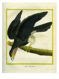 L'Aigle D'Amérique