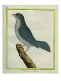 Grey-Winged Cotinga