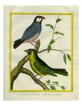Yellow-Billed Grosbeak and Yellow-Green Grosbeak