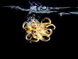 An Octopus in Water