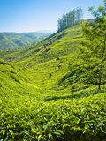 A Tea Plantation in Munnar  Kerala  India