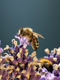 A Bee on a Lavender Flower