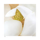 Magnolia Flower Abstract No 237