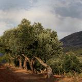 Olive trees  Horta de Sant Joan  Terra Alta  Tarragona  Spain