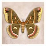 Moth Crecropia
