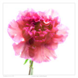 Carnation Purple
