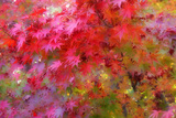 Autumn Japanese Maple Impressions
