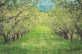 Pear Trees at Hood River Valley  Oregon