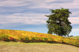 Napa Hillside in Autumn