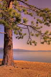 Morning Tree  South Lake Tahoe