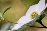 Yosemite Dogwood Design