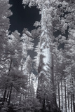 In the Grove - Infrared  Mariposa