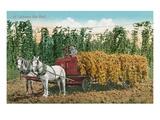 Hops Harvest in California