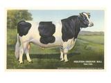 Holstein-Freisian Bull