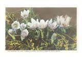 Anemone  State Flower of South Dakota