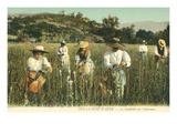 Tuberose Harvest  Cote d'Azur  France