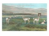 Grazing Antelope  Gardiner  Montana