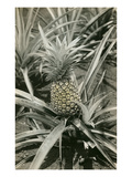 Pineapple Plant