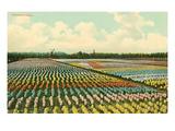 Hyacinth Fields  Holland