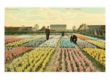 Hyacinth Garden  Haarlem  Holland