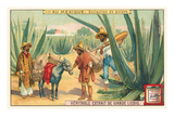 Extraction of Pulque  Magueys  Mexico