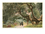 Oak Trees  Hope Ranch  Santa Barbara  California