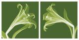 Lilies [Negative]