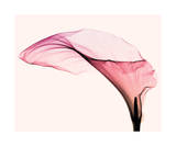 Giant Calla (small)