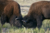 Bison (Bison Bison) Bulls Sparring  Custer State Park  South Dakota  United States of America