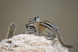 Two Least Chipmunk (Tamias Minimus)  Custer State Park  South Dakota  United States of America