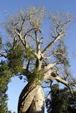 Spiral Trunk of Baobab Tree  Between Morondava and Belon'I Tsiribihina  Madagascar  Africa