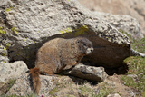 Yellow-Bellied Marmot (Yellowbelly Marmot)  Mt Evans  Arapaho-Roosevelt Nat'l Frst  Colorado  USA