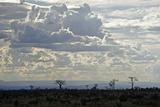 Baobabs Landscape  Region of Ihosy  Madagascar  Africa