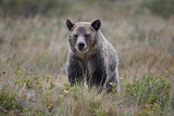 Grizzly Bear (Ursus Arctos Horribilis) in the Rain  Glacier National Park  Montana  USA