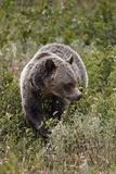 Grizzly Bear (Ursus Arctos Horribilis) Eating Berries  Glacier National Park  Montana  USA
