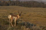 Pronghorn Buck  Lamar Valley  Yellowstone Nat'l Pk  UNESCO Site  Wyoming  USA