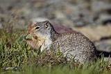Columbian Ground Squirrel (Citellus Columbianus) Feeding  Glacier National Park  Montana  USA