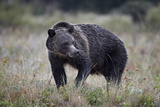 Grizzly Bear (Ursus Arctos Horribilis) in the Rain  Glacier National Park  Montana  USA