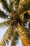 Coconut Palm  Kerala  India  Asia