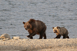 Grizzly Bear (Ursus Arctos Horribilis) Sow and Yearling Cub  Glacier National Park  Montana  USA