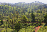 Tea Plantation in the Mountains of Munnar  Kerala  India  Asia