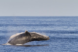 Adult Humpback Whale (Megaptera Novaeangliae) Breach  Gulf of California  Mexico